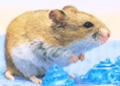 chinese_hamster1